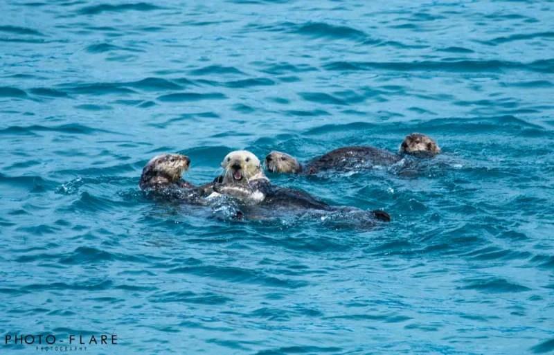 משפחה של לוטרת הים באלסקה