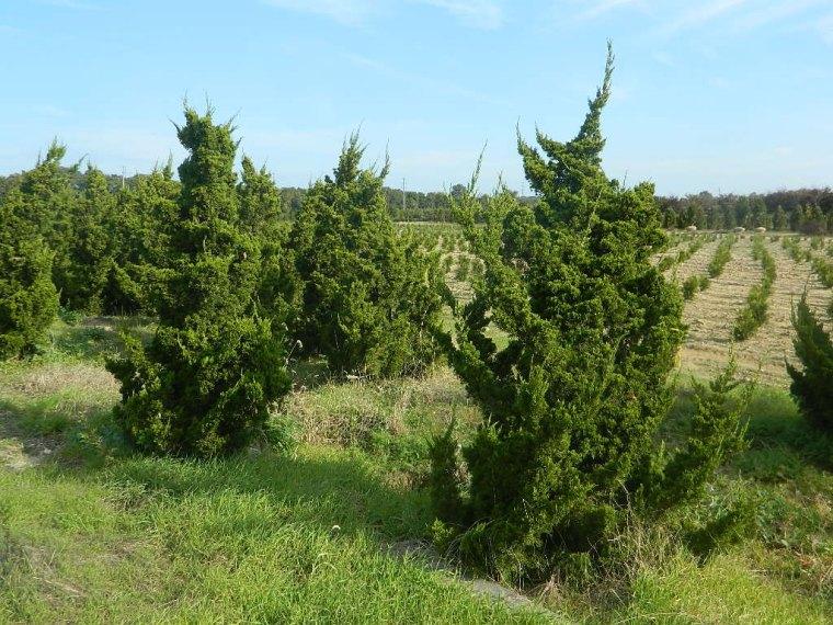 Juniperus-Torulosa