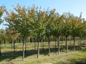 Prunus-Kwanzan
