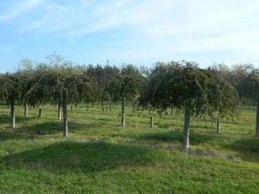 Prunus-Snowfountain