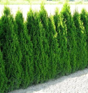 Hecken-Pflanzen-kaufen - Thuja occidentalis `Smaragd´ Smaragd-Lebensbaum