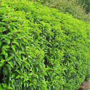 Hecken pflanzen kaufen -Prunus laurocerasus, Kirschlorbeer für Hecken