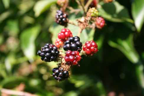 closeup photo of black and red round fruit