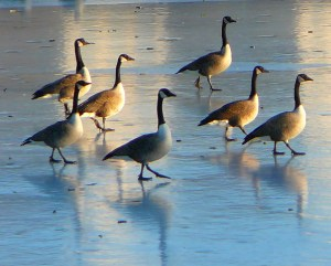 Geese walking on a frozen pond