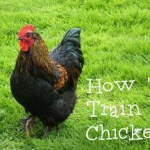 How To Train a Chicken!