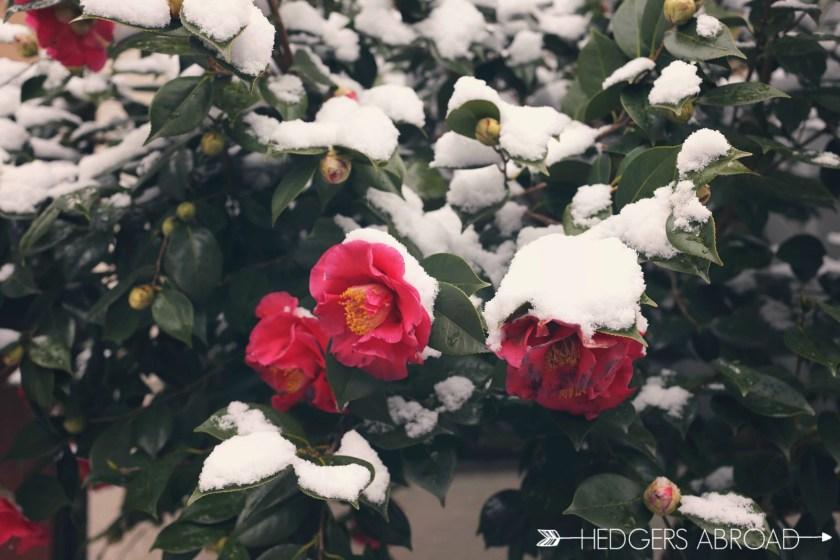 Camellia in snow