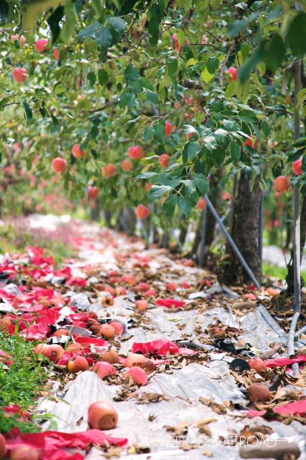Korean Apple Orchard