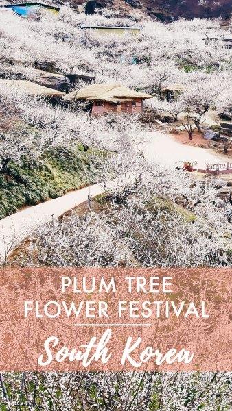 Gwangyang Plum Tree Festival // South Korea
