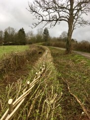 Hedgelaying at Polesden Lacy