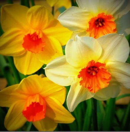 Daffodils Apr 2015