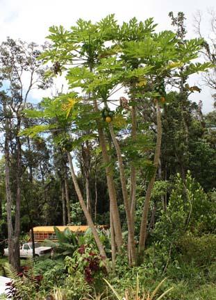 papaya-grove