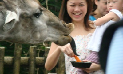 Giraffe Feeding at the Singapore Zoo
