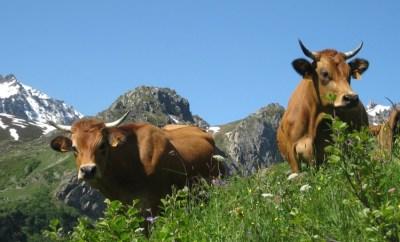 cows swiss alps