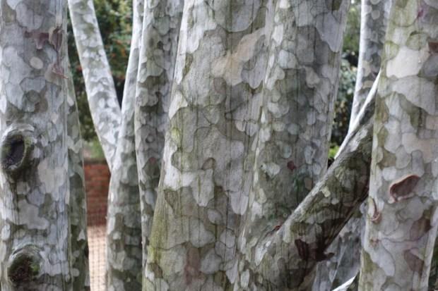 National Arboretum DC lace bark pine closeup