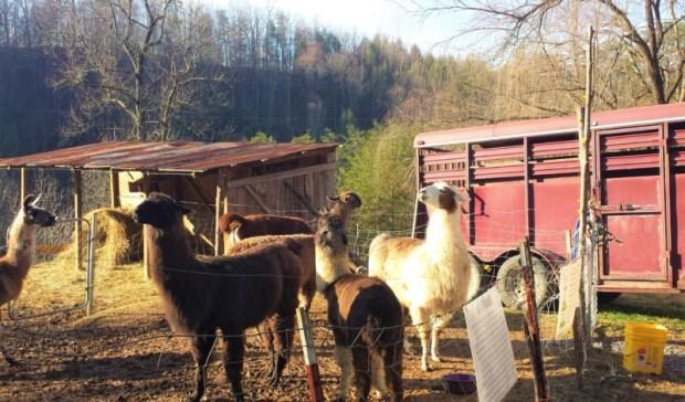 smoky-mountain-llama-treks-alpaca-standoff