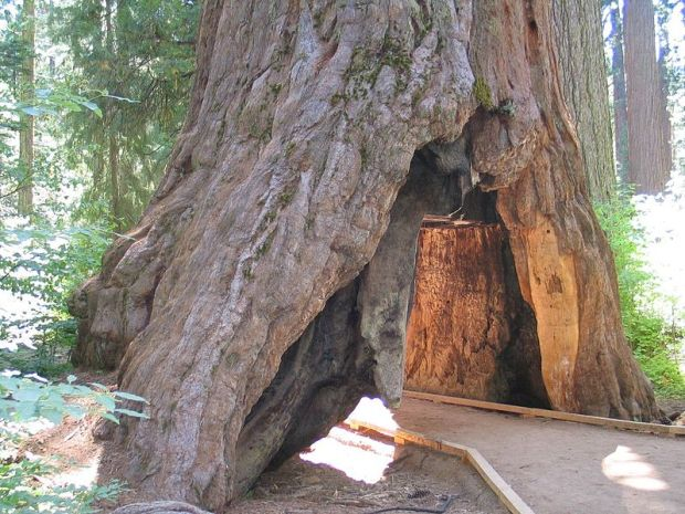 The redwood in happier days