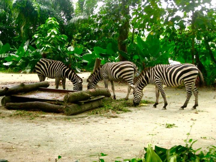 Zebras at Singapore Zoo