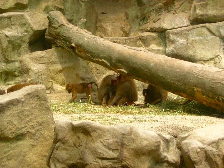 Baboons at Singapore Zoo