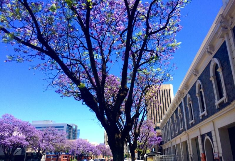 Jacaranda trees in Adelaide