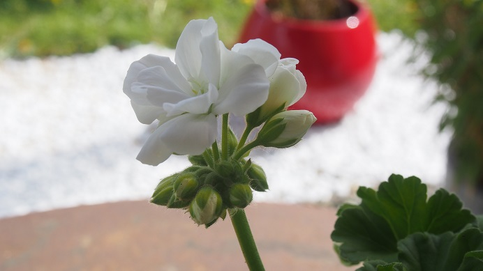 geranium-blanc