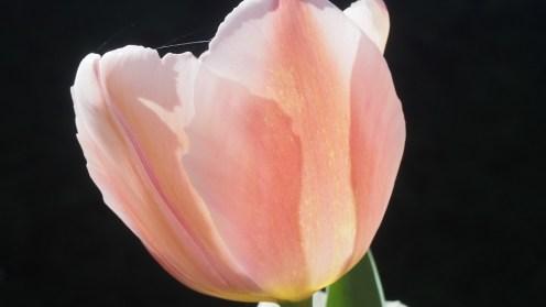 tulipe-mars-2017