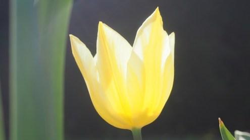 tulipe or