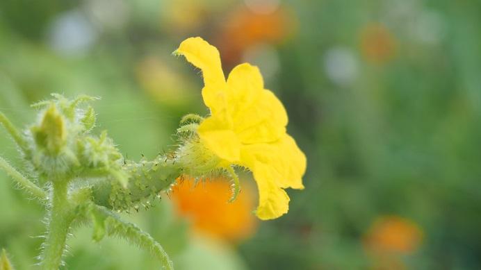 cornichon en fleur