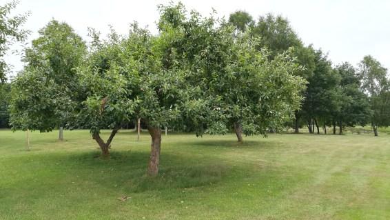 Apfelbäume neben Bahn 16