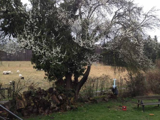 Wildpflaume Prunus cerasifera, 20. März 2017 (Foto: Armin Dahl)