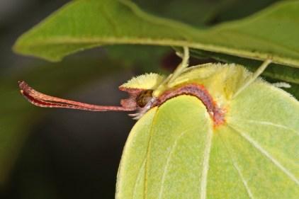 Gonepteryx rhamni - Zitronenfalter. Bei trübem Wetter konnte man sich den Tieren problemlos auf wenige Zentimeter nähern. Stromtrasse Marscheid, Wuppertal, 24.06.2017 (Foto: Tim Laußmann)