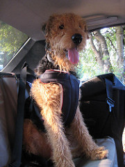 "My Big "" Pet""  Peeve – Why your dog should not be on your lap when driving"