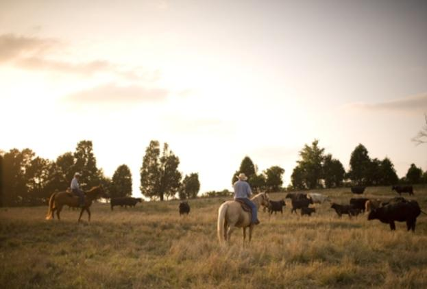 move_cows_on_horse_in_bb-623x422