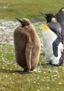 King Penguin baby, Saunders Island, Falkland Islands