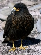 Caracara, Sealion Island, Falkland Islands