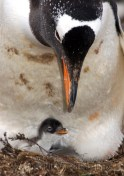 Gentoo Penguin and hours old baby,, Sealion Island, Falkland Islands