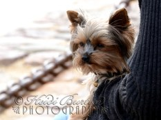 17th June 2013 - Spotted this little dog on his owners lap overlooking the harbour at Saint Malo - he was happily sat there watching the world go by - so cute!