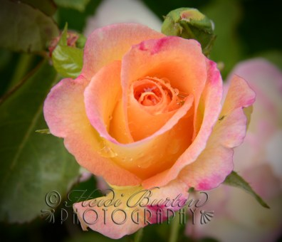 I love the orange and pink colour combination on this rose bush in our garden - gorgeous!