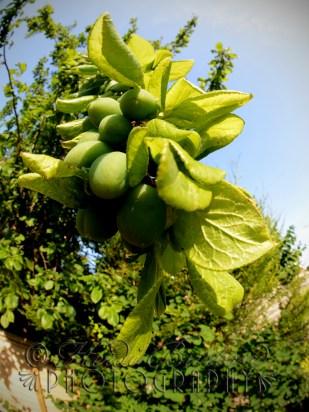 7th July 2013 - We've got plums!!!