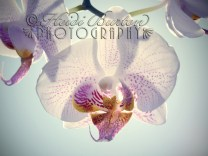 1st August 2013 - orchid