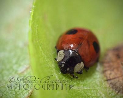 20th August 2013 - Ladybird