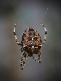Garden Spider