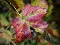 2nd November 2013 - love the colour of the leaves at this time of year.