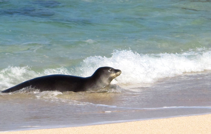 Hawaiian Monk Seal | Photo © Heidi Chang
