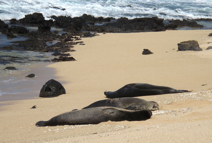 Three Hawaiian Monk Seals on Molokai | Photo © Heidi Chang