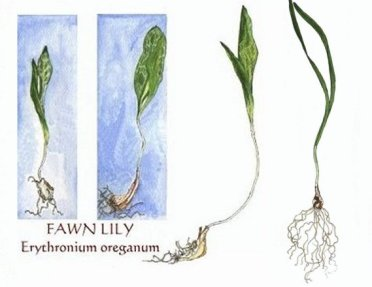 fawn-lily-3-earlystages-with-bulbs