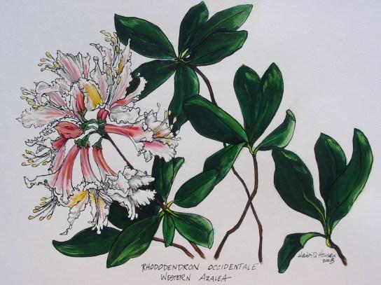 Western Azalea can be seen blooming in late Feb-early March!