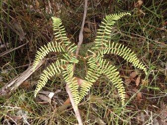 fern symmetry - Gleichenia microphylla
