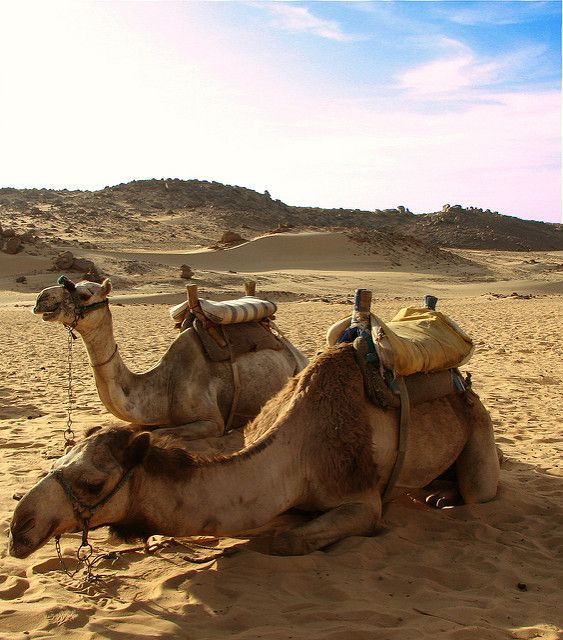 Camels_in_the_Desert