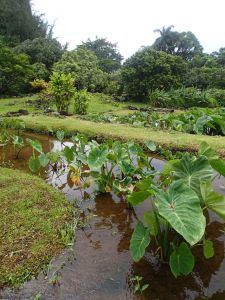 Taro_Growing_North_Shore_Kauai_Heidi_Siefkas