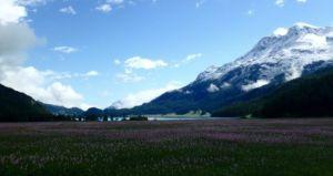 Bisort_Wildflowers_in_Bloom_Summer_in_Swiss_Alps_by_Heidi_Siefkas